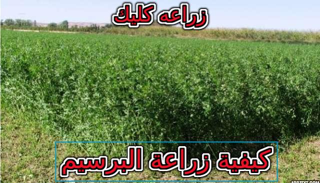 كيفية زراعة البرسيم