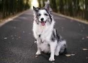 Le Chien Berger Australien Noir Et Blanc: ce chien est-il fait pour vous?