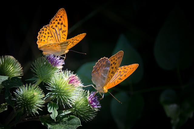 Mariposas se defienden y enamoran con el color de sus alas
