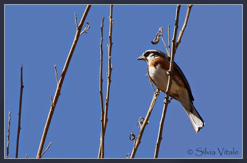 Warbling finch