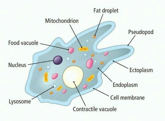Amoeba sp. merupakan protista heterotrof dan memiliki nukleus serta mitokondria