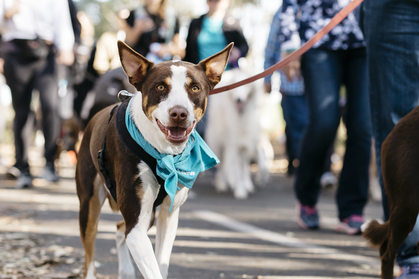 Rspca Million Paws Walk 2019 May 19 Australian Dog Lover