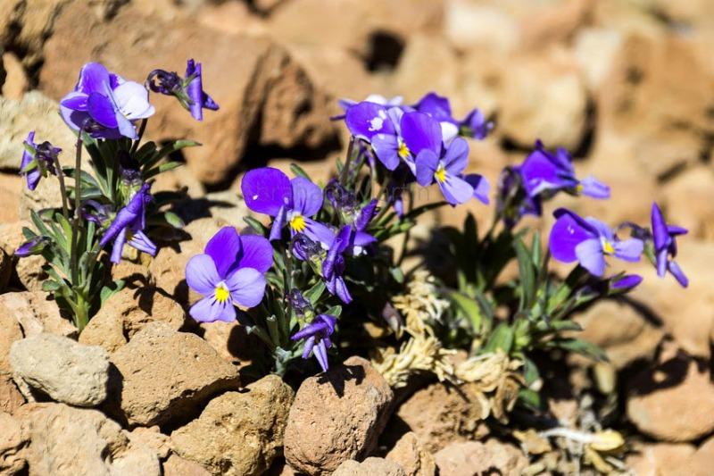 Viola cheiranthifolia