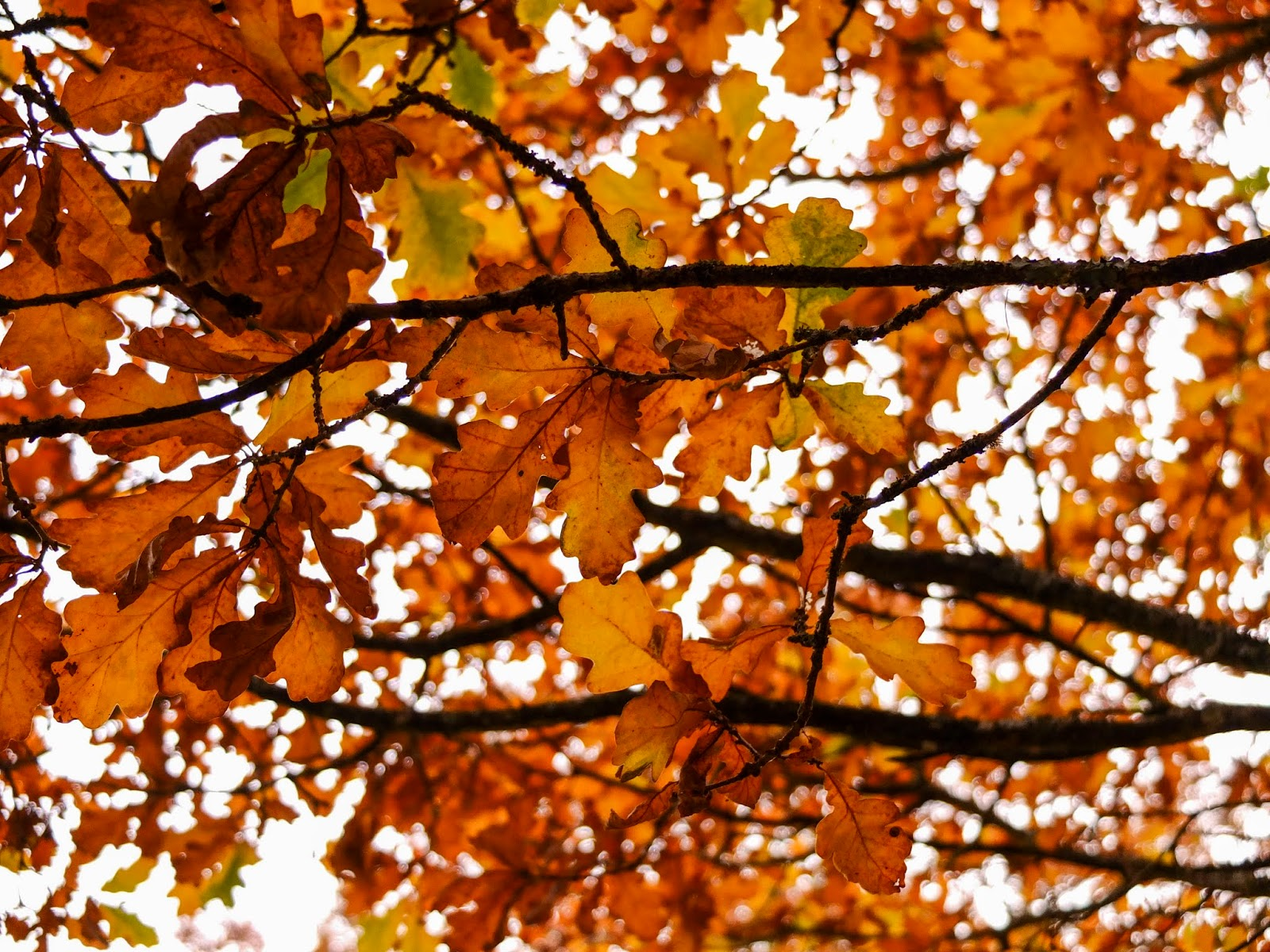 Looking up a canopy of brown and yellow autumn leaves on Oak tree branches outside Kanturk Castle.