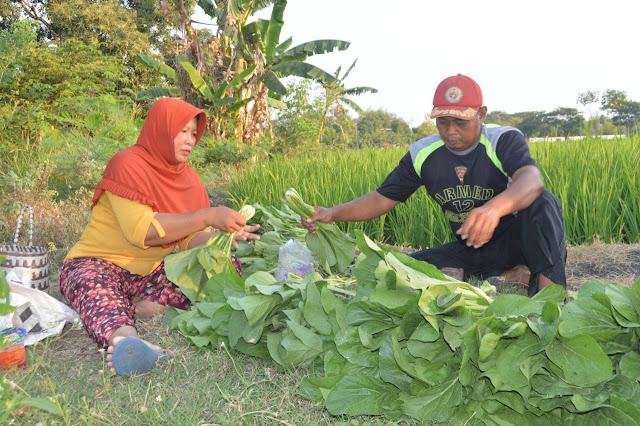 Prajurit Yonarmed 12 Kostrad Bantu Tingkatkan Pendapatan Warga Melalui Kebun Sayur