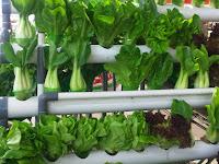 5 Jenis Tanaman Sayuran yang Mudah Ditanam di Pekarangan Rumah