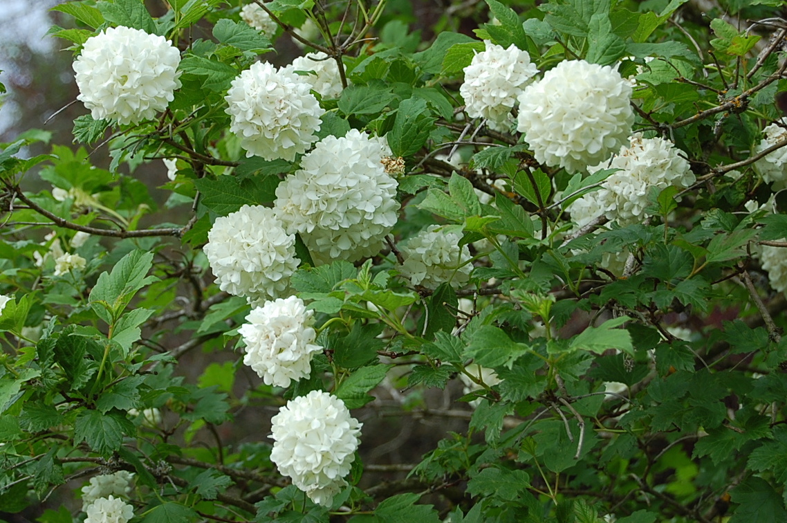 White Ball Flower Bush