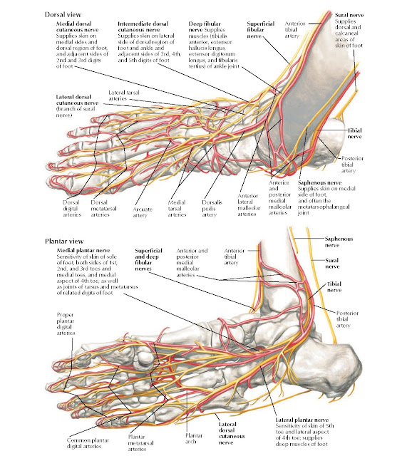 Anatomy of Foot: Nerves and Arteries Anatomy