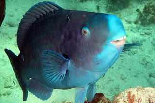 O peixe-papagaio-azul é principalmente achado em recifes de coral com 3 a 25 metros de profundidade. Habita principalmente as regiões do Atlântico Ocidental, Brasil, Bahamas, Bermudas e Antilhas. Eles também são encontrados nas Índias Ocidentais, contudo estão ausentes na parte norte do Golfo do México. Durante a fase de crescimento vivem em ervas marinhas.