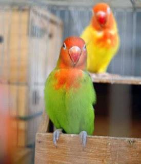 Deteksi gangguan pernafasan pada burung