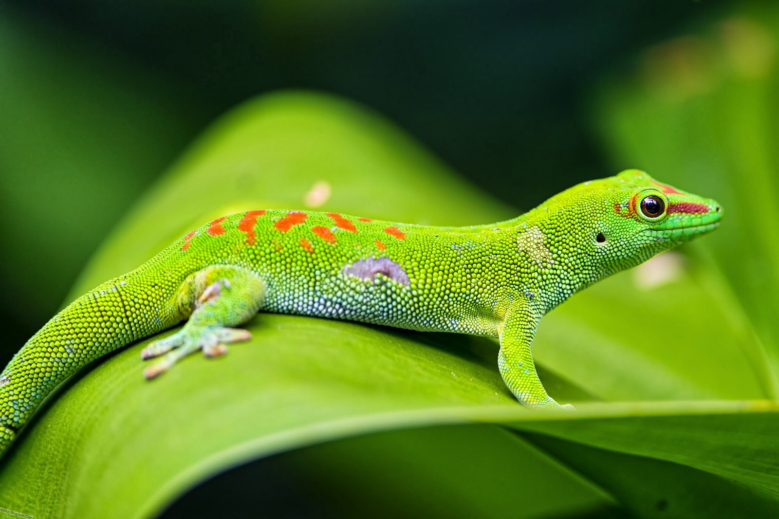 http://hdhut.blogspot.com/2014/03/top-25-most-incredible-lizard.html