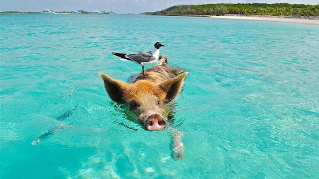 seekor burung hinggap di atas babi yang berenang di Pantai Babi Bahama