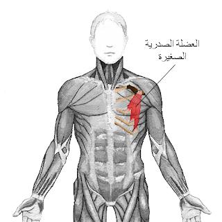 العضلة الصدرية الصغيرة