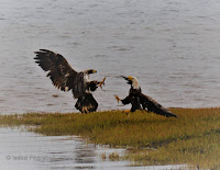 Bald Eagle juvenile sparring with an adult – North Lake, PEI – June 7, 2017 – © Isobel Fitzpatrick