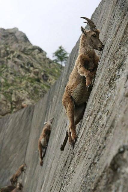 Climbing goat modern art