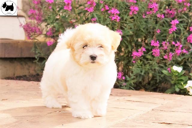 Cutest Dog Breeds, Best Dog, Coton De Tulear Dog puppies