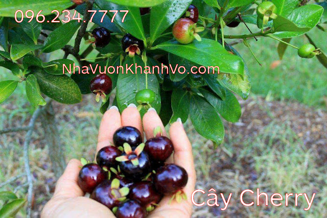 Giống cherry có thể trồng tại việt nam