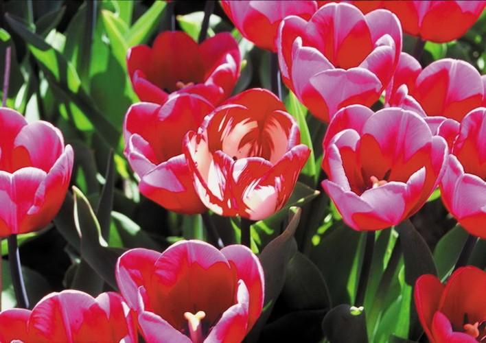 walau-bukan-covid-19-bunga-tulip-pun-diserang-virus-berbahaya