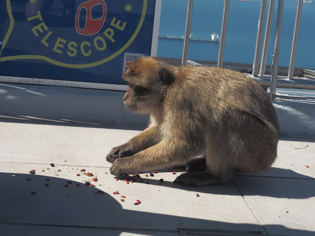 gibraltar monkeys steal food