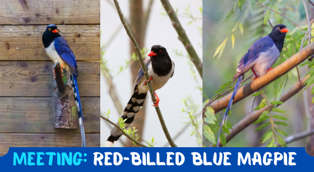 all about Red-billed-Blue-Magpie