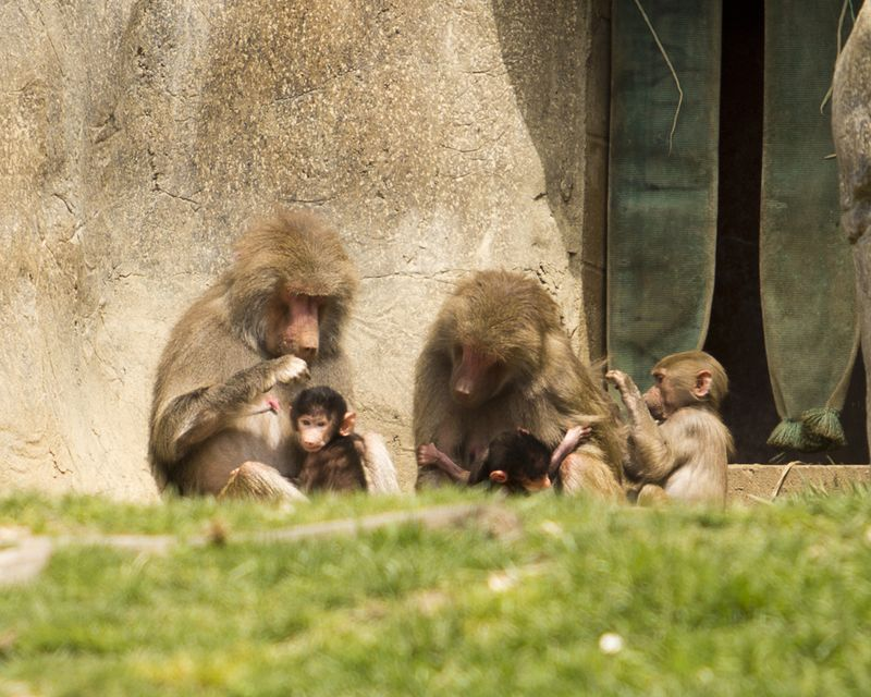 Baby Animals: Baboon infant 5