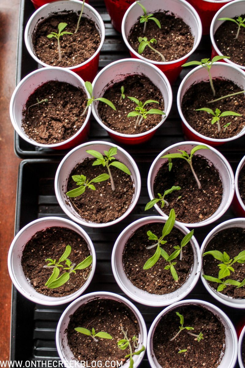 Roma VF Seedlings | On The Creek Blog