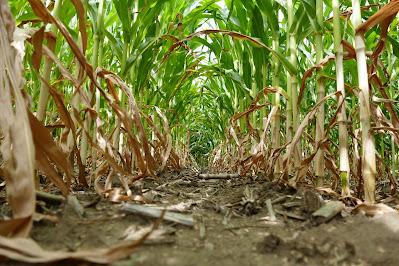 minnesota corn nitrogen