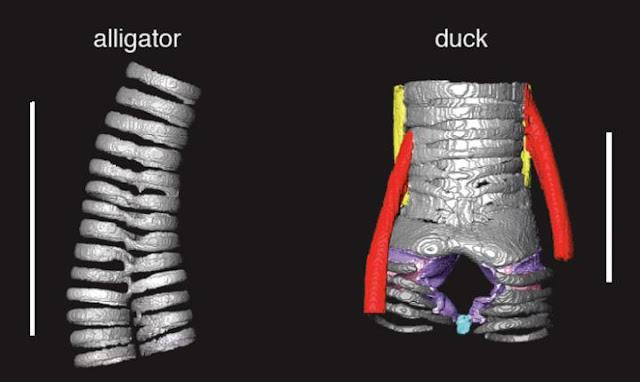 Birds reinvent voice box in novel evolutionary twist