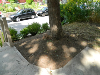 Koreatown Toronto Summer Garden Cleanup After by Paul Jung Gardening Services--a Toronto Organic Gardener