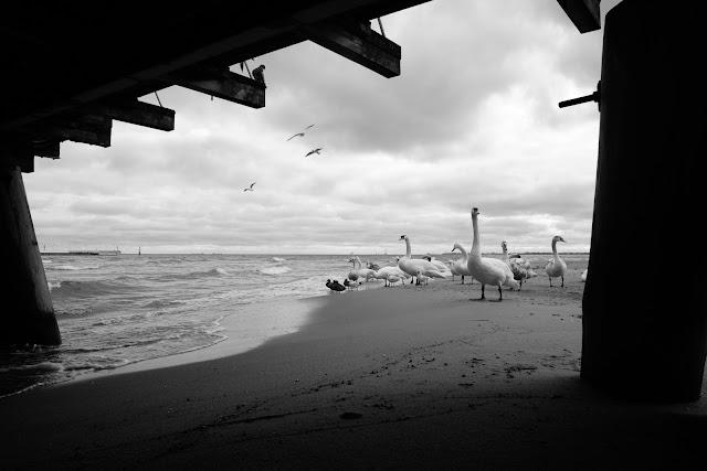 Krajobraz nadmorski. Łabędzie pod sopockim molo. fot. Łukasz Cyrus