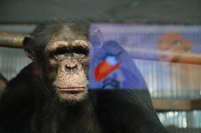 chimpancé viendo televisión