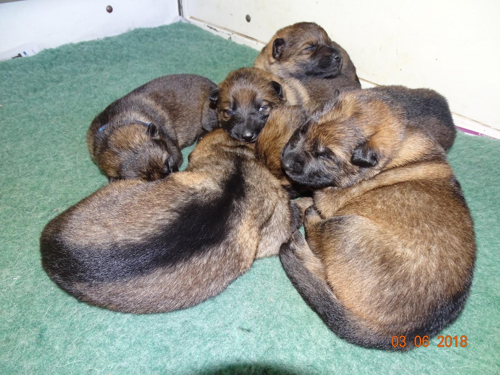 Devon  | Border Terrier Puppies For Sale Devon Cornwall