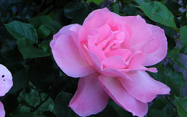 Deep pink rose with deep green foliage