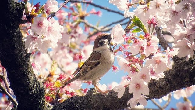 Springtime in Japan: bird with a sakura cherry blossom in Kanazawa