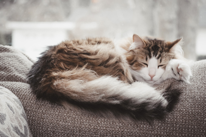 brown-and-white long-haired cat sleeping on back of grey sofa