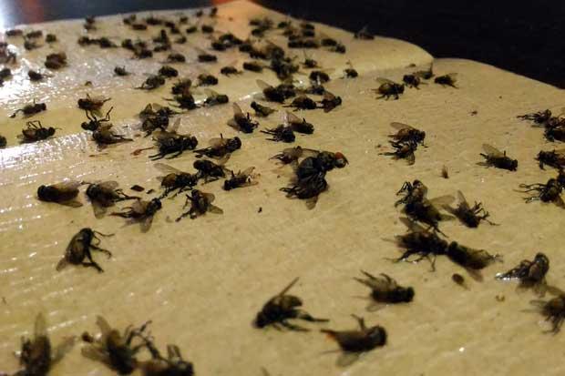 Basmi Lalat Tanpa Racun Insektisida, Coba Cara Murah Ini