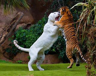 León blanco y tigre de bengala peleando
