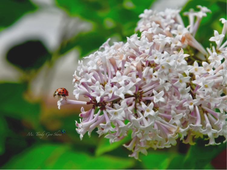 Lilacs and Ladybug _ Ms. Toody Goo Shoes