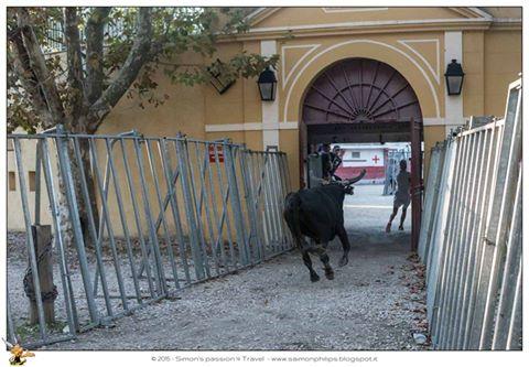 Corsa camarghese toro entra dall'arena