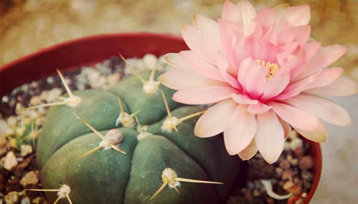 Cactus del mentón
