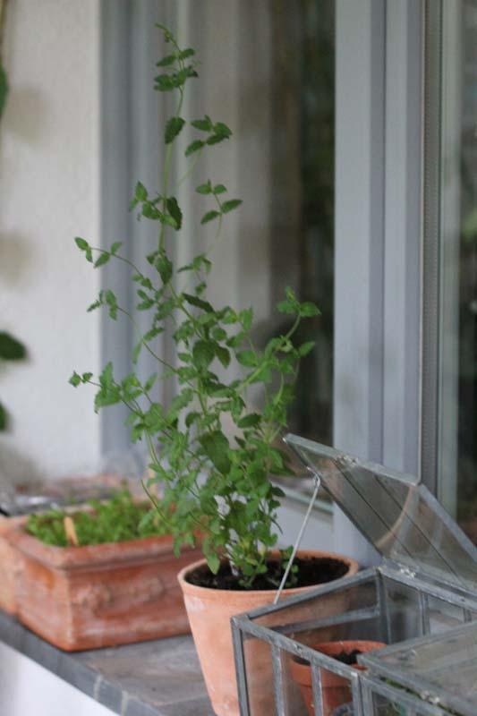 mein balkon die klonarmee pflanzenvermehrung durch. Black Bedroom Furniture Sets. Home Design Ideas