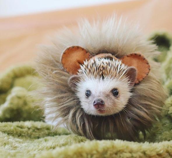 Hedgehog Azuki