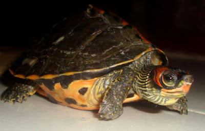 Care For Assam Roofed Turtle