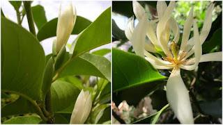 Khasiat Bunga Kanthil Dalam Dunia Kesehatan