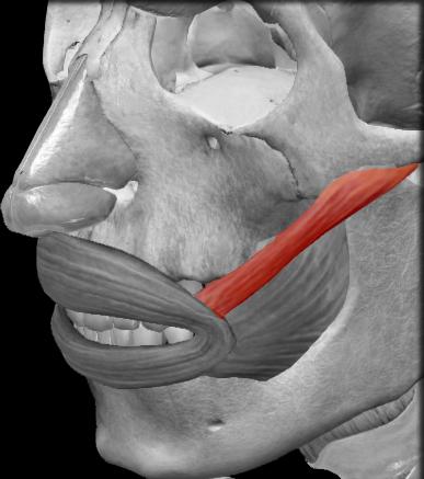 Músculo cigomático mayor | iinmed