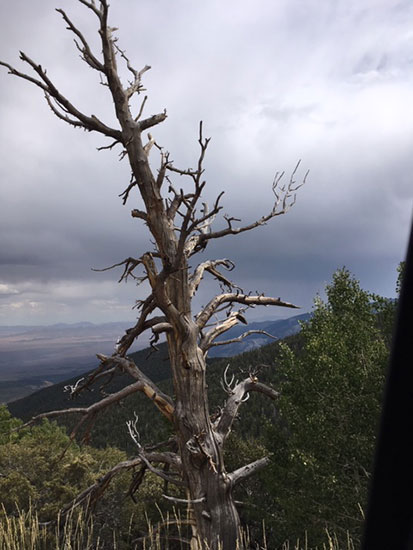 One of the old Bristlecone Pines on the road to the GBNP trailhead (Source: Palmia Observatory)