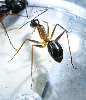 Camponotus worker