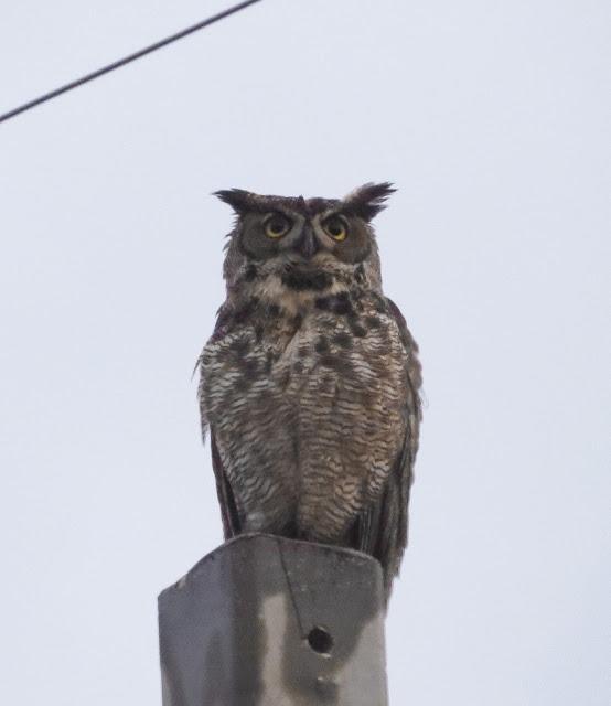 Great Horned Owl - Key Largo, Florida