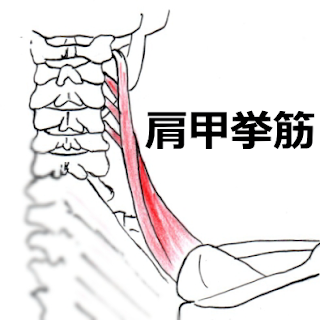 神戸やすらぎ訪問マッサージ 肩こりの原因 肩甲挙筋