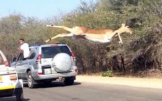 Impala  Antelope Uganda , Kampala , Lake mburo National Park